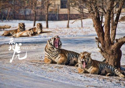 黑龍江哈爾濱-東北虎林園