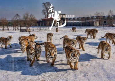 黑龍江哈爾濱-東北虎林園-群虎