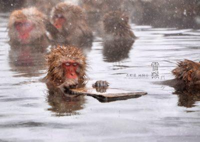 日本 長野縣 地獄谷雪猴